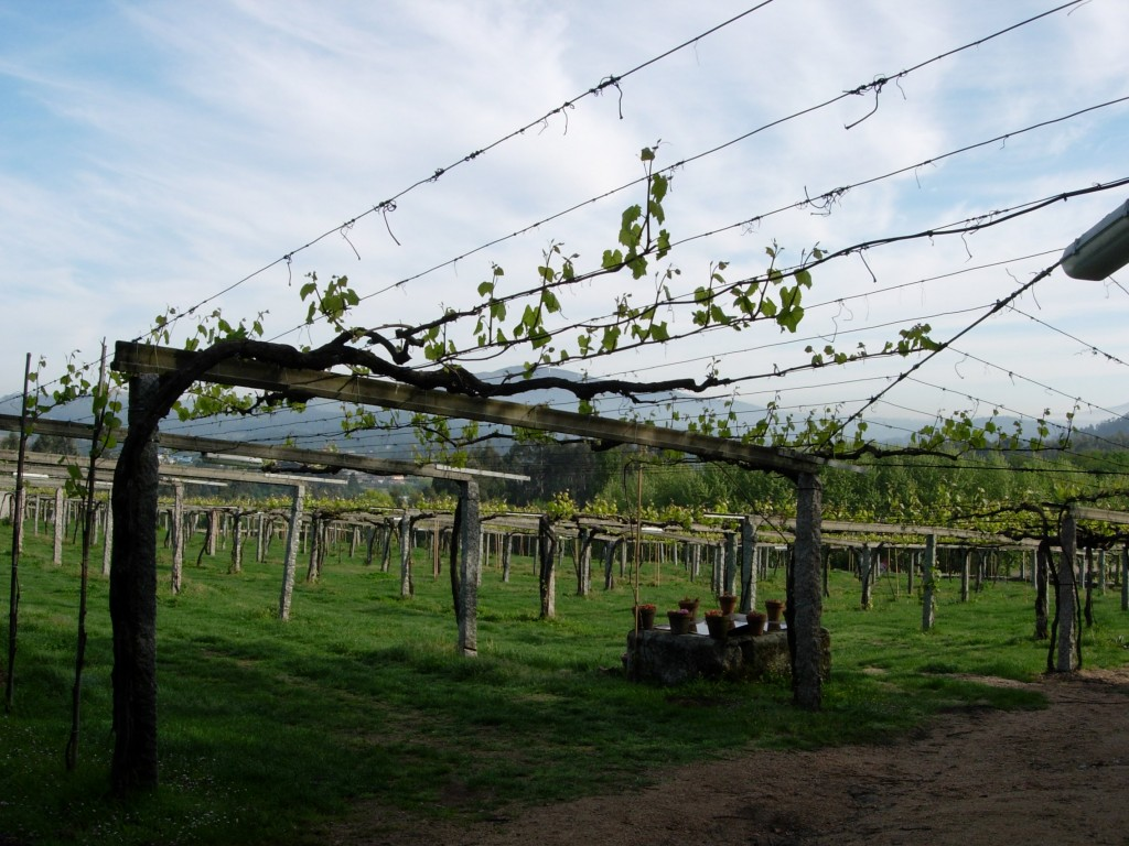 In the Salnes Valley, vines are often trained on pergolas. (Photo by Steve Jankowski.)