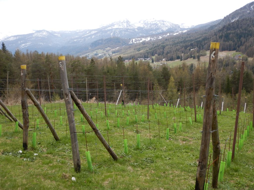 An experimental vineyard outside Cortina is the highest on the European continent. (Photo by Steve Jankowski)